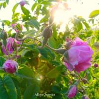 Roses-FB