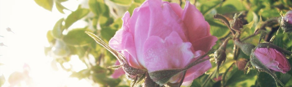 Rose Oil Suplements