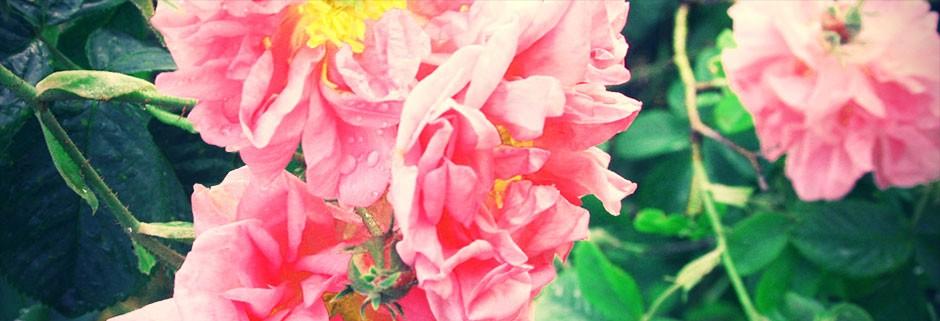 sl-rose-1-e1447843326574