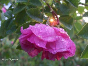 Rose Harvest