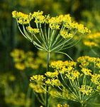 Dill Weed