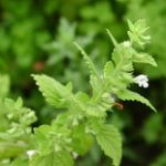 Lemon Balm essential oil
