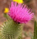 Milk Thistle carrier oil