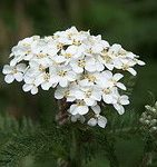 Yarrow, Green essential oil