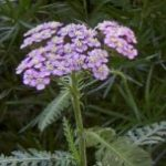 Yarrow, Blue essential oil